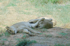 Sleeping lions. Lazy lions at the zoo Stock Photo