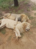 Sleeping lions. Brotherly spoon for the male lioms Stock Photo