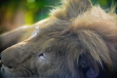 Sleeping lions. The close up of the lion is sleeping on the rocks stock photography