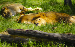 Sleeping Lions Royalty Free Stock Photos