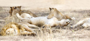 Sleeping lions in large pride at the savannah Royalty Free Stock Photo