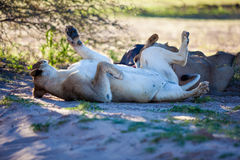 Sleeping lions. A lioness rolls around in the shade, after feeding on a large wildebeest Stock Images