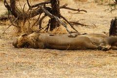 Sleeping Lions Royalty Free Stock Image