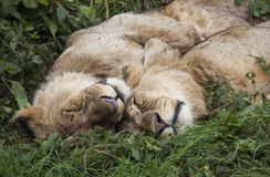Sleeping Lions Royalty Free Stock Photo