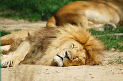 Sleeping lions Stock Photo