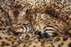 Sleeping little bengal cat Stock Photography