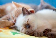 Sleeping little cat. Three little kitten sleeping on a pillow royalty free stock photos