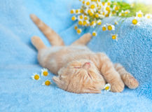 Sleeping little cat. Little cat sleeping near chamomile royalty free stock images