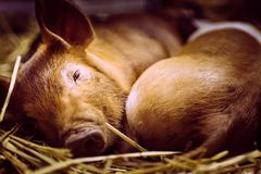Sleeping little pigs take a break after the show. stock image