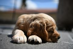 Sleeping little puppy. Sleeping little brown puppy dog royalty free stock images