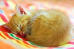 Sleeping little red kitten. Cute little red tabby kitten is sleeping curled up on stripy blanket royalty free stock images