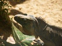 Sleeping Lizard royalty free stock image