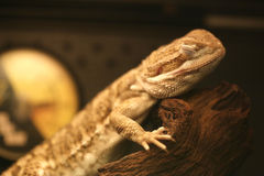 Sleeping lizard Royalty Free Stock Photos