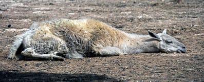 Sleeping llama 1 Royalty Free Stock Photo