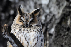 Sleeping Long-eared Owl Royalty Free Stock Images
