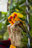 Sleeping lovebirds. Few sleeping lovebirds on branch Royalty Free Stock Photo