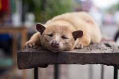Sleeping Luwak Royalty Free Stock Image