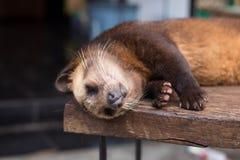 Sleeping luwak Royalty Free Stock Photography