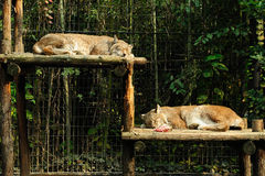 Sleeping lynx Stock Photo