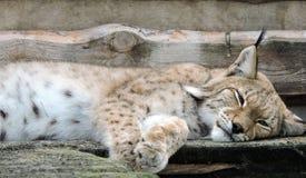 Sleeping lynx Stock Photo