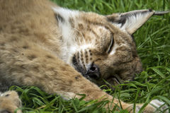 Sleeping lynx Royalty Free Stock Photography