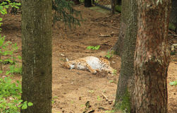 Sleeping lynx. Fluffy Eurasian lynx sleeping in the forest Royalty Free Stock Photos