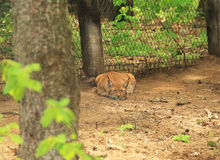 Sleeping lynx. Fluffy Eurasian lynx sleeping in the forest in ZOO Stock Images