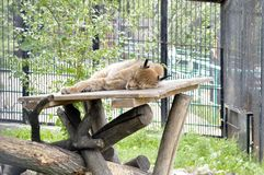 Sleeping lynx in the zoo. Beauty, Sleeping lynx in the zoo. Russia. Krasnoyarsk Stock Image