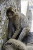 The sleeping Macaque on Gibraltar, Europe. The semi-wild Barbary Macaques, Gibraltar, Europe royalty free stock images