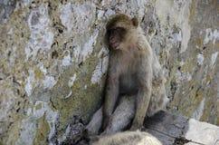 The sleeping Macaque on  sleeping, Gibraltar, Euro. The semi-wild Barbary Macaques, Gibraltar, Europe Royalty Free Stock Image