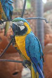 Sleeping macaw Stock Photos