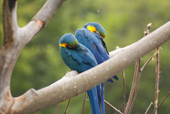 Sleeping macaw parrot Royalty Free Stock Images