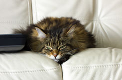 Sleeping Maine Coon cat Stock Image
