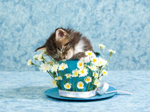 Sleeping Maine Coon kitten in cup. Cute Maine Coon kitten sleeping inside large cup decorated with daisies flowers on blue background stock images