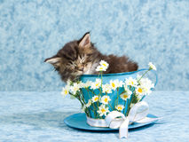 Sleeping Maine Coon kitten in large tea cup royalty free stock photos