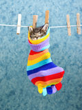 Sleeping Maine Coon kitten in sock. Cute Maine Coon kitten sleeping inside colorful sock hanging from washing line royalty free stock photos