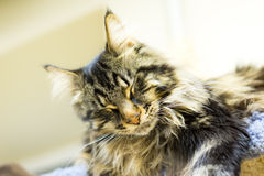 Sleeping Maine Coon Stock Photos