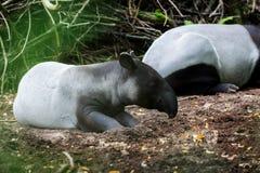 Sleeping Malayan tapir Stock Photos