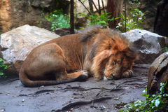 Sleeping male African lion. Male african lion fast asleep on the dirt, tail curled up Royalty Free Stock Photo