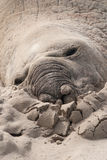 Sleeping male elephant seal on a beach. Sleeping male elephant seal (Mirounga leonina) on a beach in South Africa Stock Images