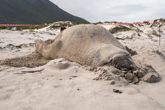 Sleeping male elephant seal on a beach. Sleeping male elephant seal Mirounga leonina on a beach in South Africa Royalty Free Stock Photography