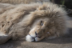 Sleeping male lion. Male lion asleep in sun Royalty Free Stock Images
