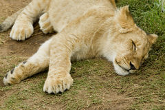 Sleeping male lion cub Royalty Free Stock Photos