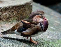 Sleeping Mandarin Duck (Aix galericuluta) with single leg standi Royalty Free Stock Photography
