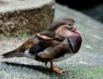 Free Sleeping Mandarin Duck (Aix Galericuluta) With Single Leg Standi Royalty Free Stock Photography - 73617467