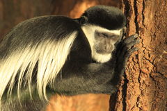 Sleeping mantled guereza Stock Image