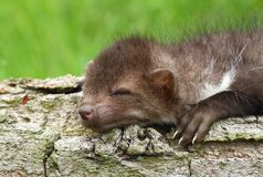 Sleeping marten Stock Images