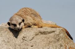 Sleeping meerkat Royalty Free Stock Photography