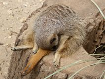 Sleeping Meerkat after a hard day royalty free stock photo