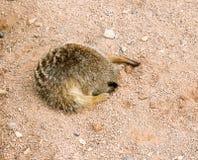 Sleeping Meerkat Royalty Free Stock Photo